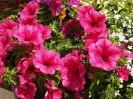 Sidmouth in Bloom_15