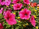 Sidmouth in Bloom_14