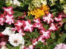 Sidmouth in Bloom_17